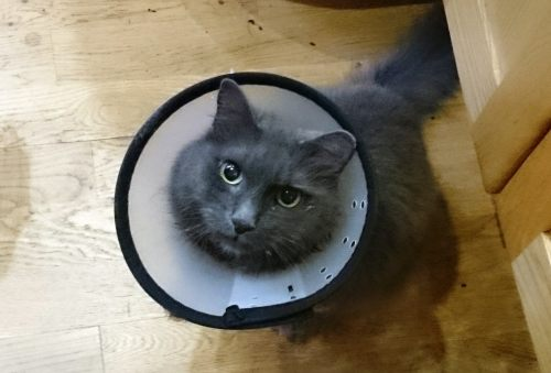 "Hugo and the ""Cone of Shame""."